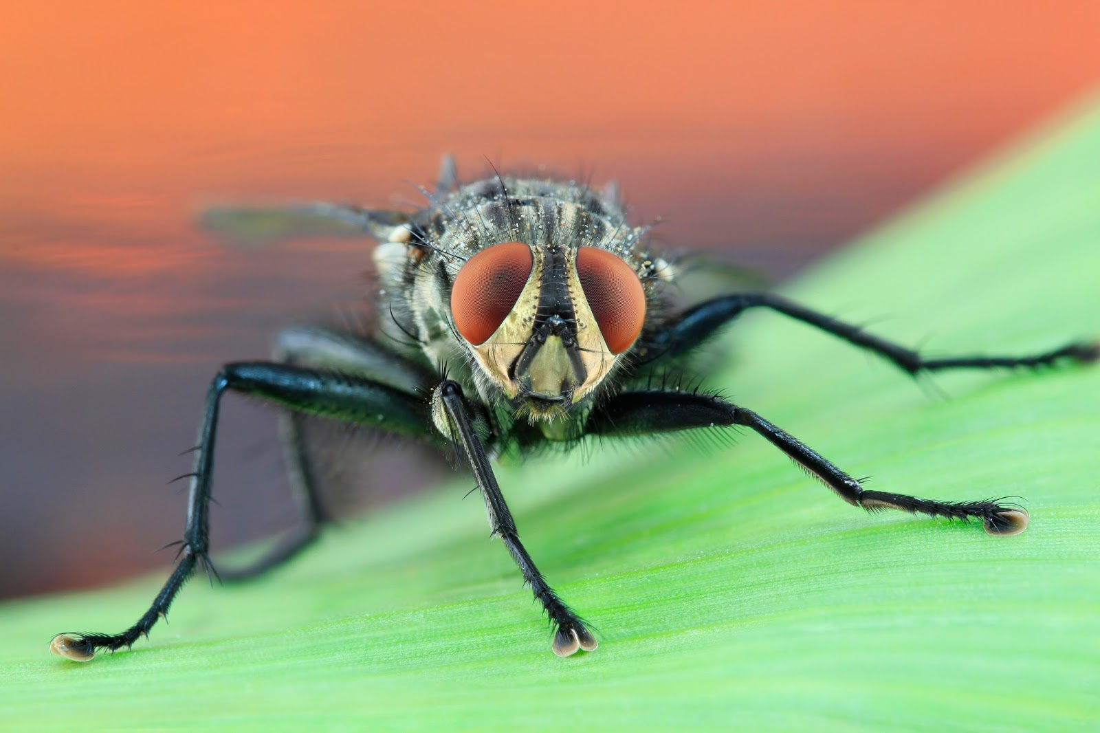 A macro picture of a housefly.