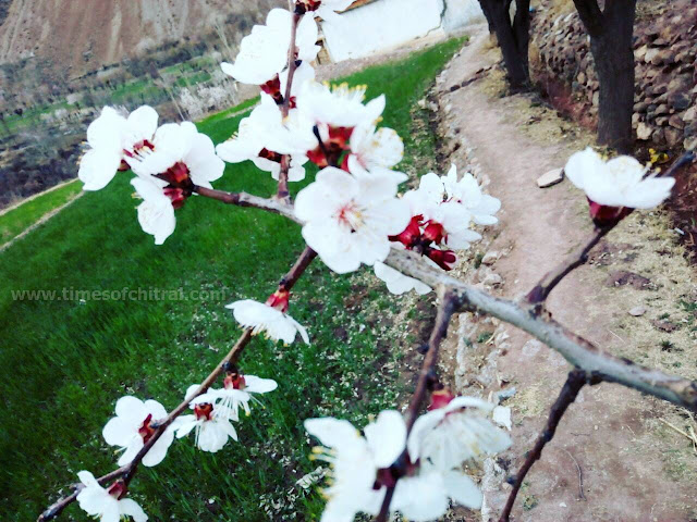 Apricot blossoms - Chitral Zait in March 2018