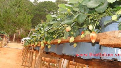 tưới tự động cho cây ăn trái