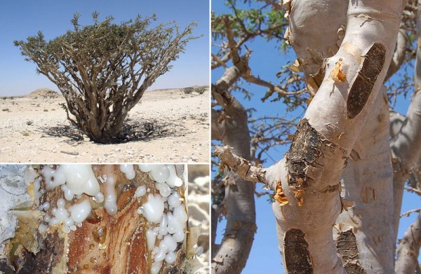Frankincense and Cancer