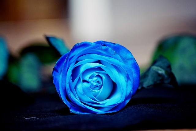 hoa hồng xanh đẹp nhất thế giới