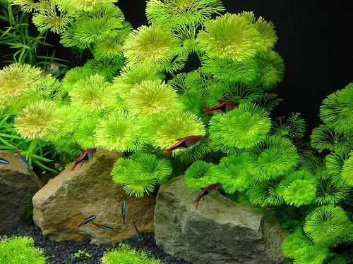 Cây thủy sinh la hán xanh rất đẹp nếu bạn trồng thành cụm