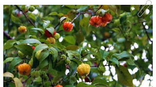 manfaat-daun-dewandaru-bagi-kesehatan,www.healthnote25.com