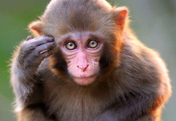 Otak monyet