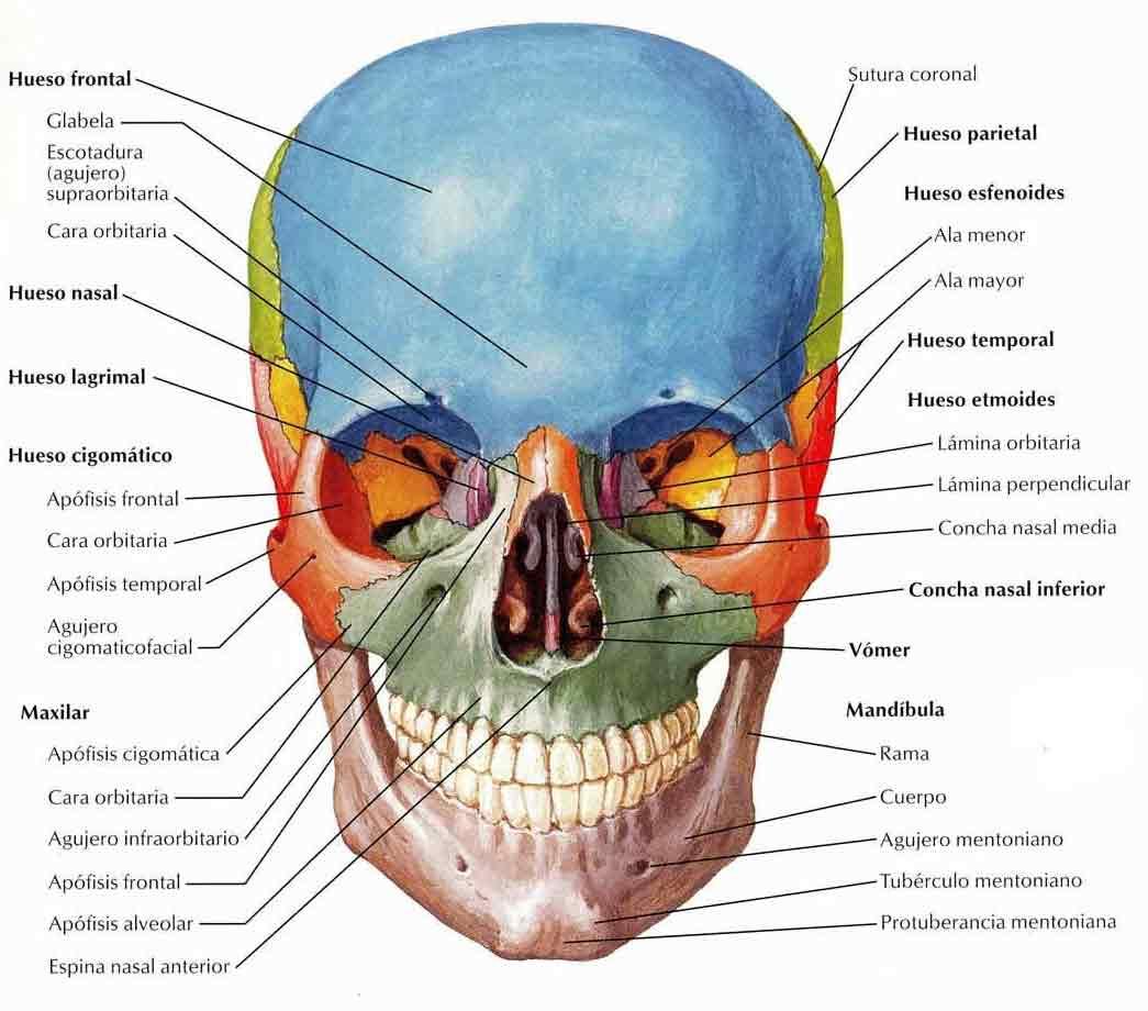 Perfecto Cráneo Radiología Anatomía Inspiración - Imágenes de ...