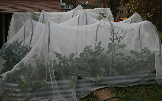 IMG_4146_3_netted_beds_brassicas.jpg