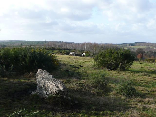Chevaux mulassiers dans les landes de Cojoux. Ils entretiennent la lande.