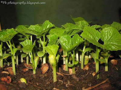 Bitter Melon Seedlings