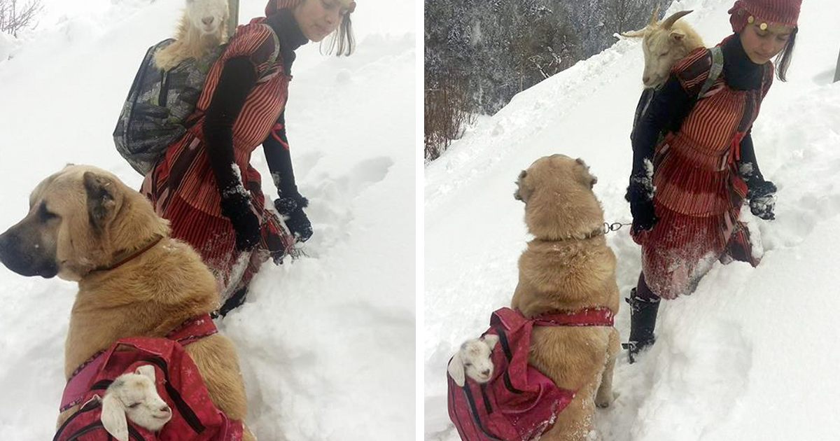 This Girl And Her Dog Just Saved A Mom Goat With Her Baby, And It's The Sweetest Thing You'll See Today