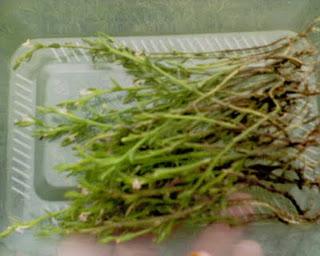 Manfaat Rumput Fatimah untuk Kesehatan Wanita
