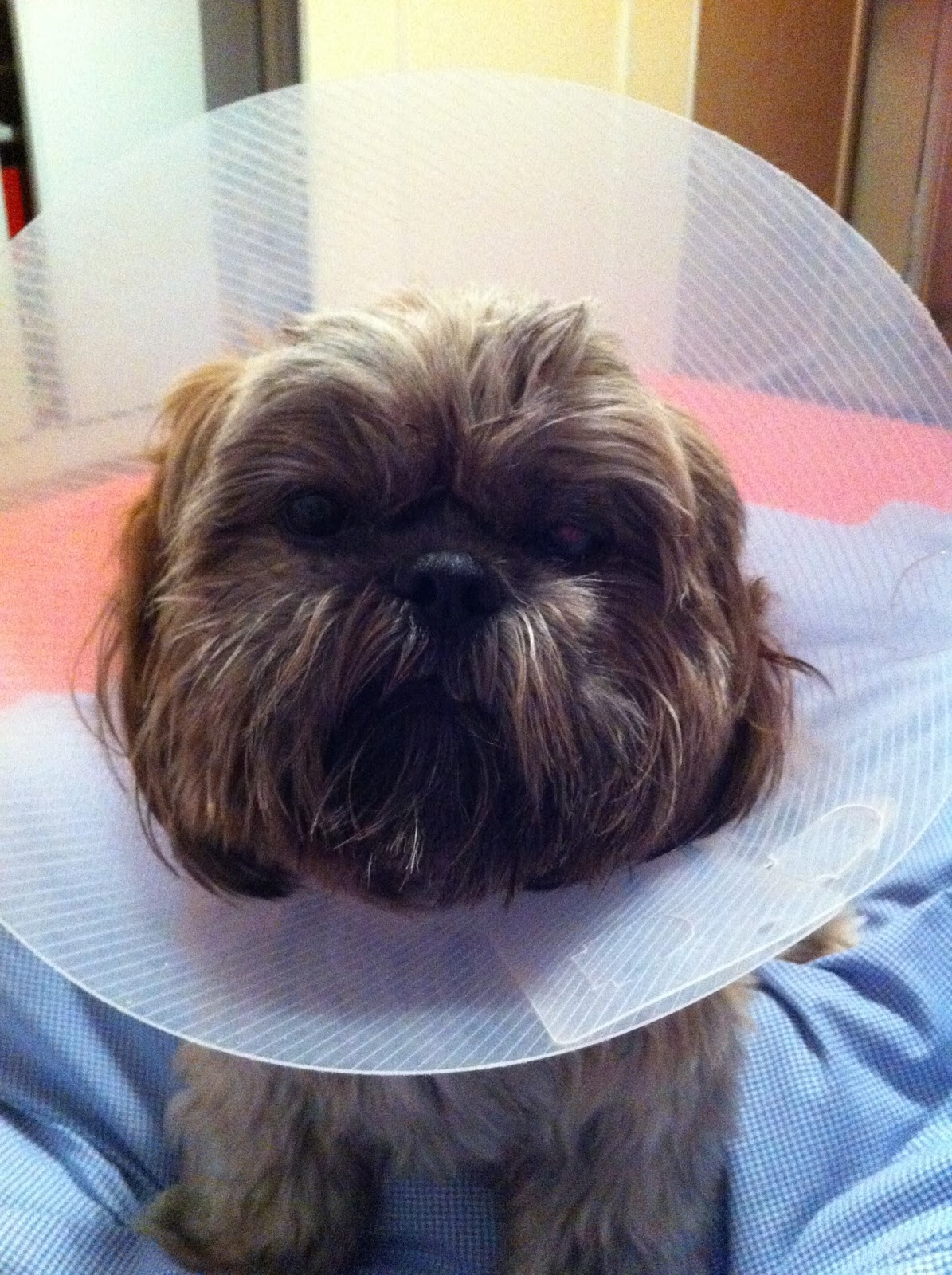 The Shih Tzu World: Ocular Disorders