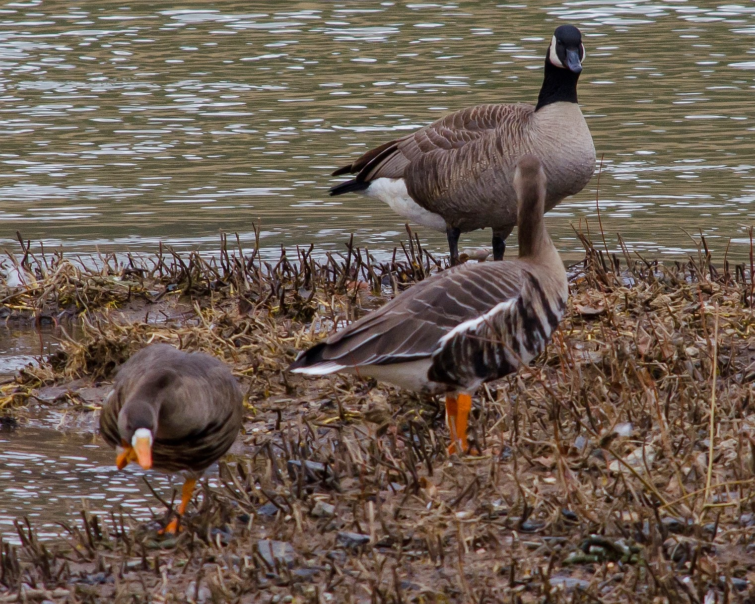 Greater White-Fronted Goose Athens Ohio