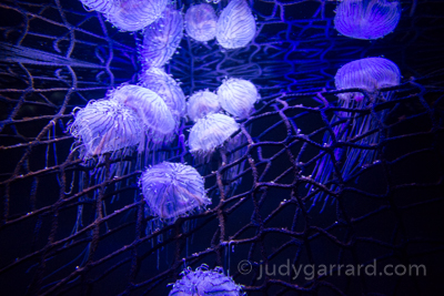 Georgia Aquarium Jellyish