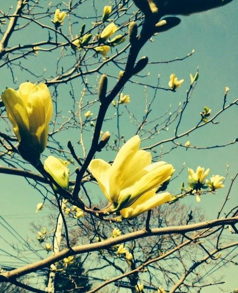 Buttercup magnolia tree
