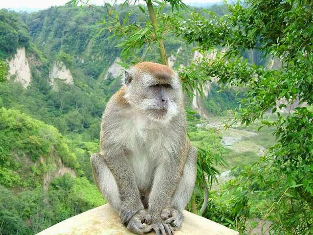 قرد المكاك الاسيوى Macaques