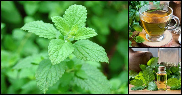 Lemon Balm Has A Calming Effect That Helps Promote Deep And Sound Sleep