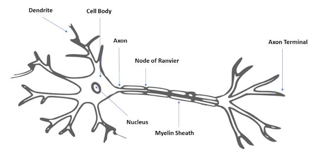 Biological Neuron | APDaga | DumpBox