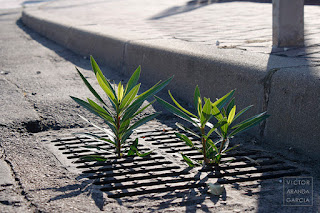 Fotografía de unas adelfas creciendo en un desagüe de la calle en Cartagena