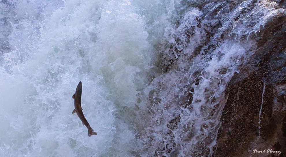 El salmon, pez de agua dulce