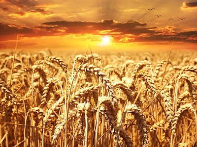 الاكتفاء الذاتي من القمح