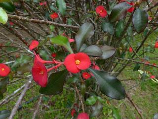 Euphorbe de Gerold - Euphorbia geroldii
