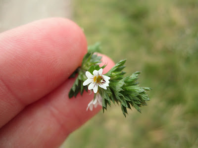 Euphrasia officinalis – Eyebright