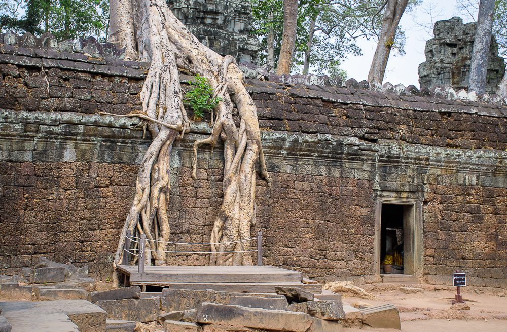 tall trees and roots of the Ta Prohm temple siem reap cambodia