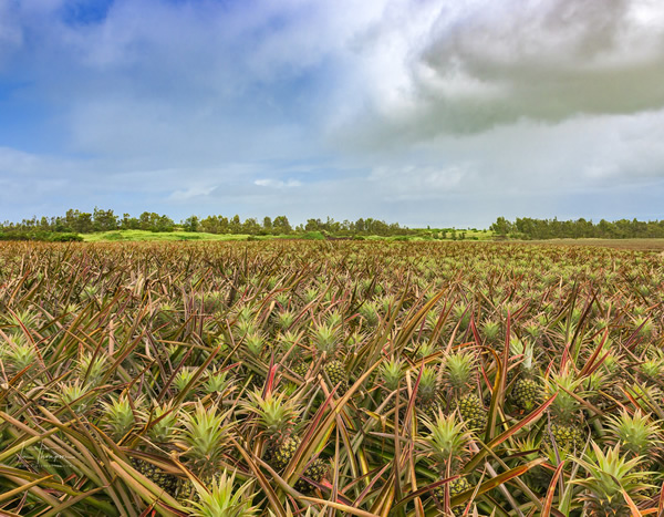 Pineapple farm, Micronesian islands