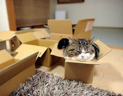 Vì sao mèo lại yêu thích những chiếc hộp