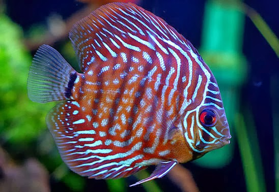 Discus Fish Water Is Yours Safe Discus Fish Types