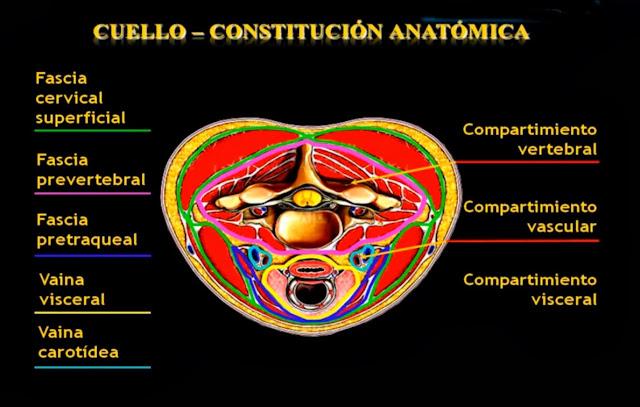 Constitución anatómica del cuello