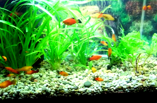 Jenis perawatan ikan platy di akuarium