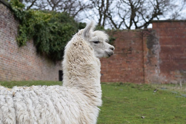 Alpaca at Heaton Park animal centre