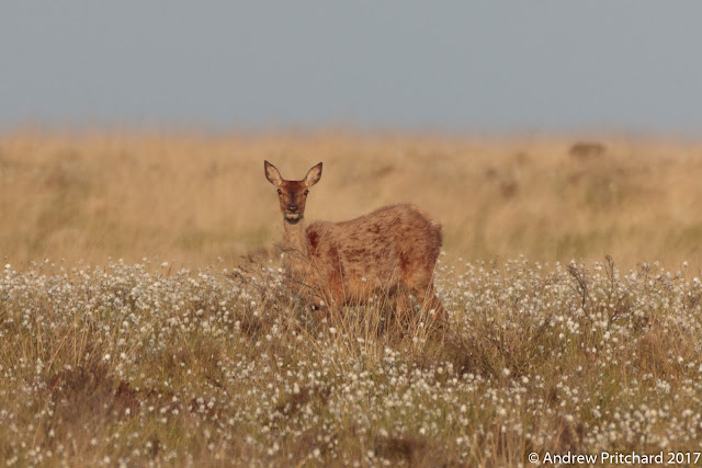 A hind waits on the moorland in grass and cotton grass, for an opportunity to cross the path and get to the woods.