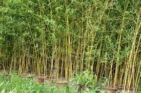 Jual Pohon Bambu Kuning Cina | harga tanaman bambu kuning cina di tempat (sawangan – Parung Jawa Barat)