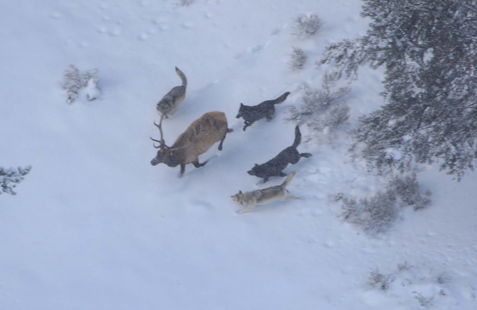by hunting cooperatively in packs wolves can take down large prey like elk and deer with higher success rates than other predators