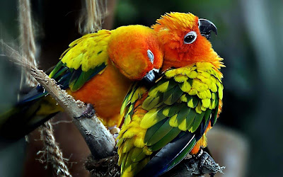 kisising-parrot-couple-enjoying-their-life-moments