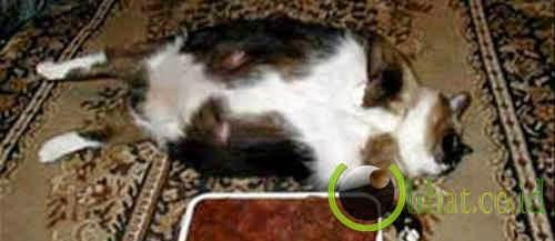 Kucing Paling Gemuk