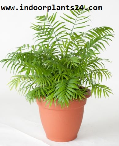 PARLOR  PALM indoor plant picture