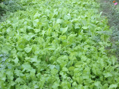 Mustard Greens growing in the garden