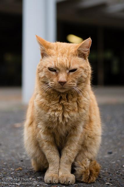 モコモコの冬毛が暖かそうな茶色い毛の猫