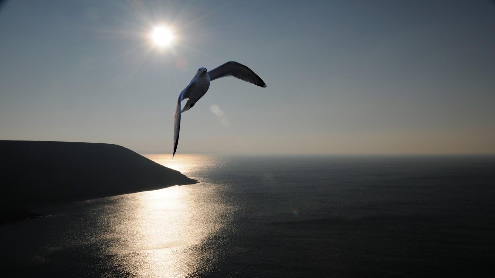 طائر النورس,النورس,Wallpapers, Wallpapers Birds, Wallpaper of Seagull,Seagull, خلفيات طيور, اجمل الطيور, خلفية طائر