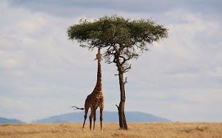 Giraffa collo lungo