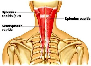 semispinalis muscle, anatomy, muscle picture