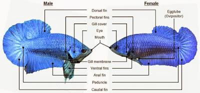 perbedaan jenis kelamin ikan cupang jantan dan betina