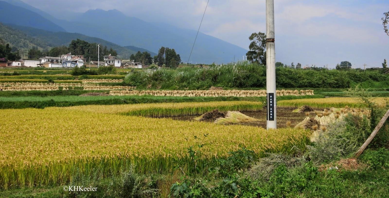 rice harvest, Dali, Yunnan