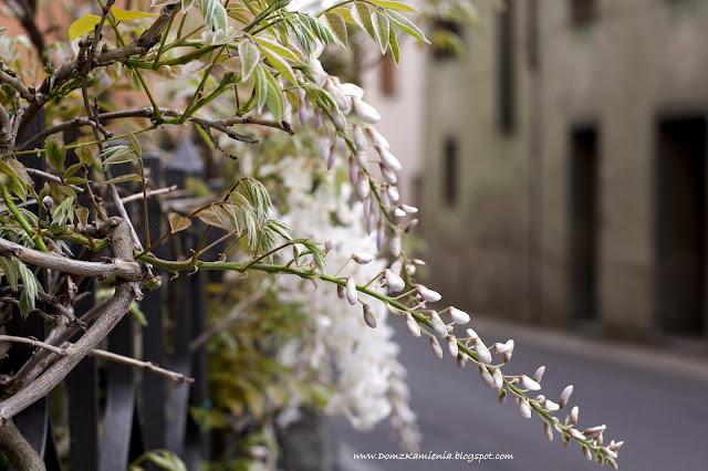 wisteria biała