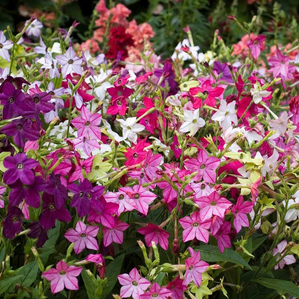 Цветы табак душистый посадка и уход фото