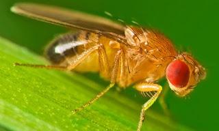 Tạo ruồi dấm cho nhà yến