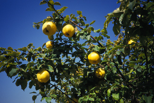 Fruit Warehouse Quince Cydonia Oblonga